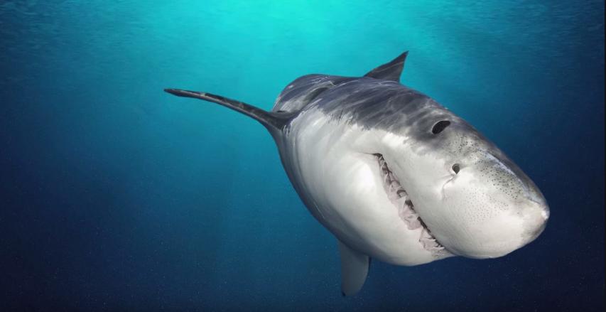 Tiburones inspiran una nueva generación de dispositivos médicos